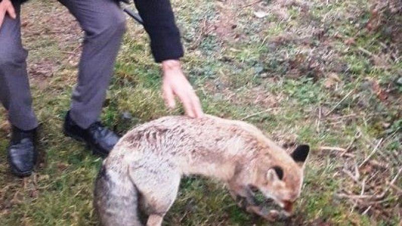 Tavuklarını yiyen yaralı tilkiyi öldürmek yerine Milli Parklar'a teslim etti
