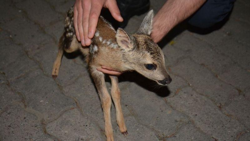 Giresun'da fındık bahçesinde bulunan iki karaca yavrusu koruma altına alındı