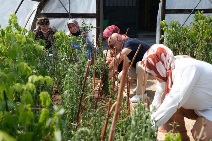 Giresun'da şeker otu olarak bilinen 'Stevia' hasadı yüz güldürdü