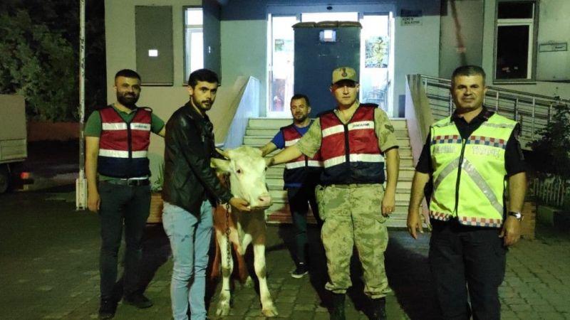 Yaylada çalınan sığır, köyde yakalandı