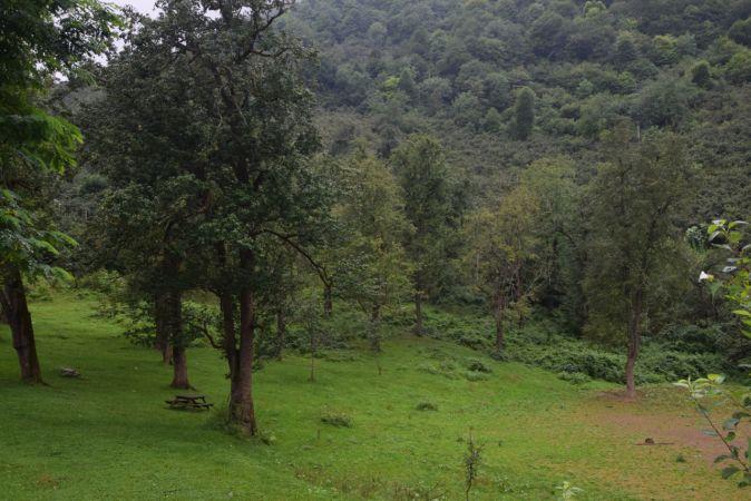 Espiye'de asırlık armut ağaçları ilgi çekiyor