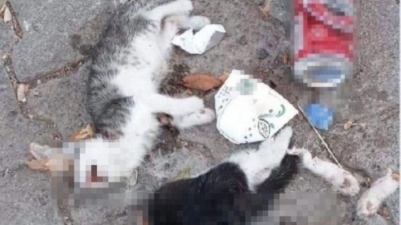 Giresun'da iki kedi yavrusu canice öldürüldü