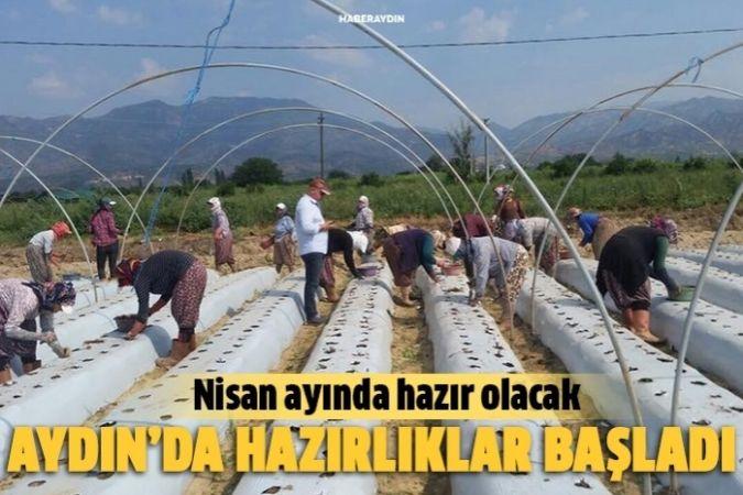 Aydın'da çilek fidelerinin dikimine başlandı