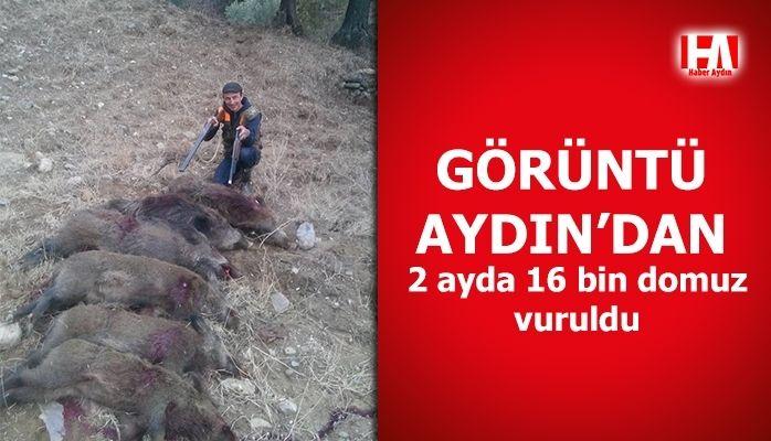 Görüntüler Aydın'dan.. 2 ayda 16 bin domuz vuruldu