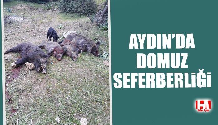 Aydın'da domuz seferberliği