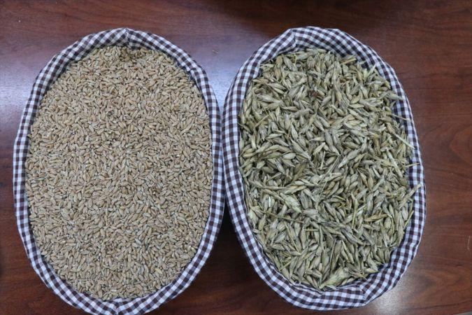 """Çeyiz sandığından çıkan """"kızıl buğday"""" üreticisini ihya edecek"""