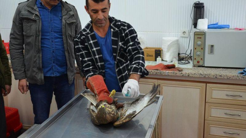 Manisa'da bulunan yaralı kaya kartalı, korumaya alındı