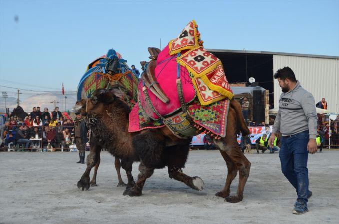 Söke'de deve güreşi festivali yapıldı