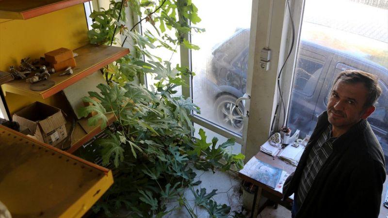 Muğla'da hırdavatçı dükkanının içinde büyüyen incir ağacı ilgi çekiyor