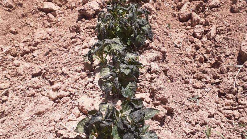 Afyonkarahisar'da bazı meyve sebzeler zirai dondan etkilendi