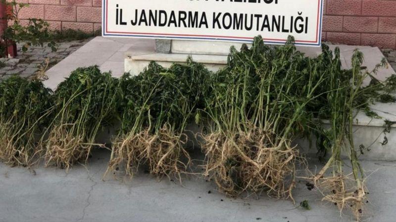 Manisa'da 732 kök kenevir ele geçirildi