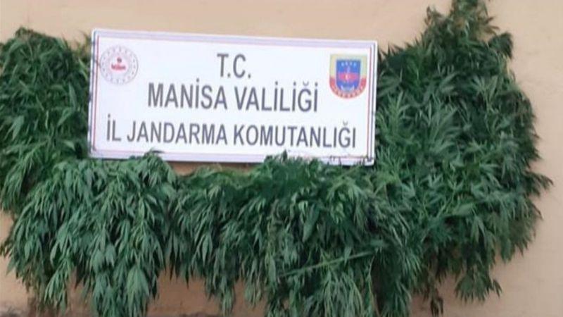 Alaşehir'de 650 kök kenevir ele geçirildi