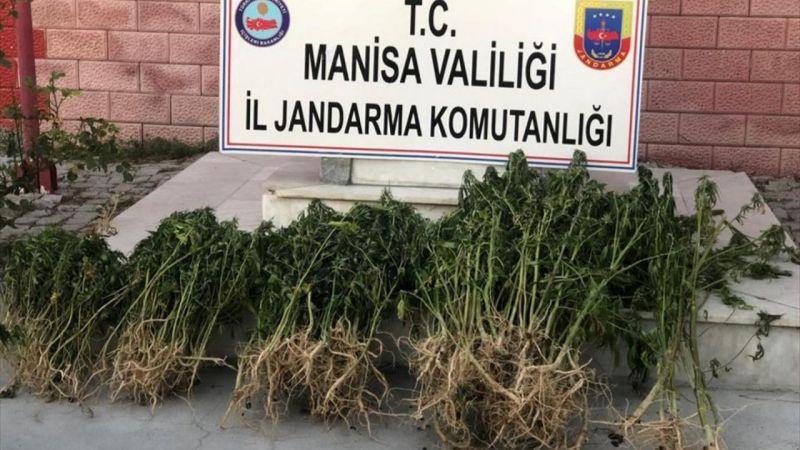 Manisa'da 783 kök kenevir ele geçirildi