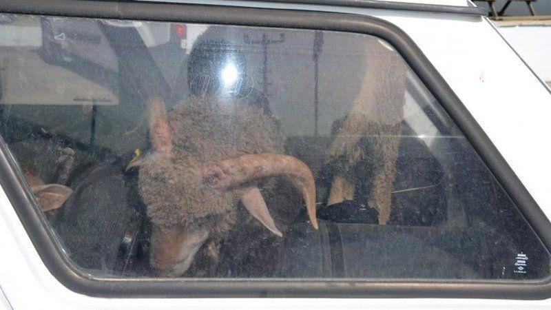Çaldıkları 2 koyunu taşımak için 2 de otomobil çaldılar