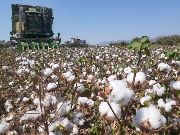 Aydın'da pamuk, kuraklığa rağmen üreticisini sevindirdi