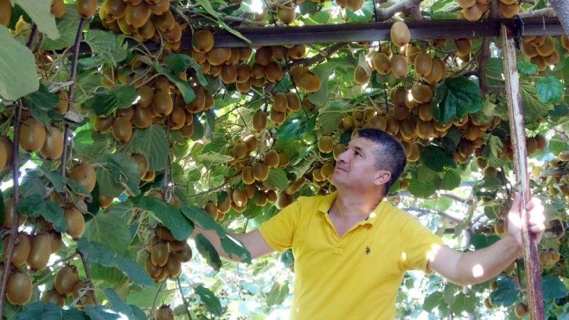 """""""Burada kivi yetişmez"""" dediler, şimdi Ukrayna'ya ihraç ediyor"""