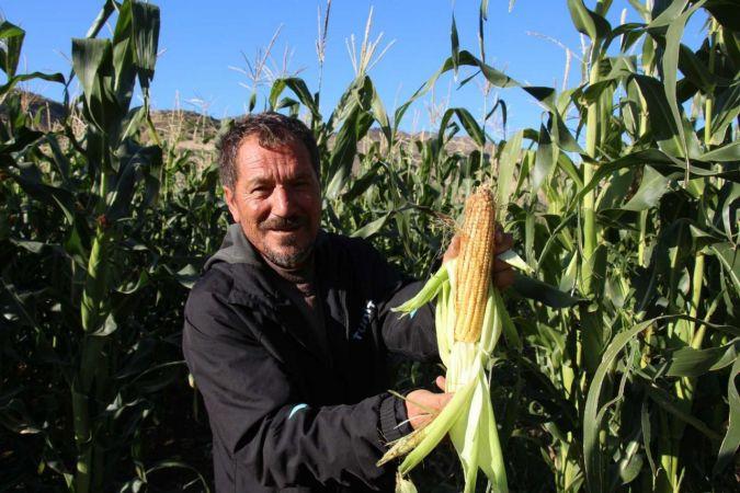Erzurum'da mısır hasadı