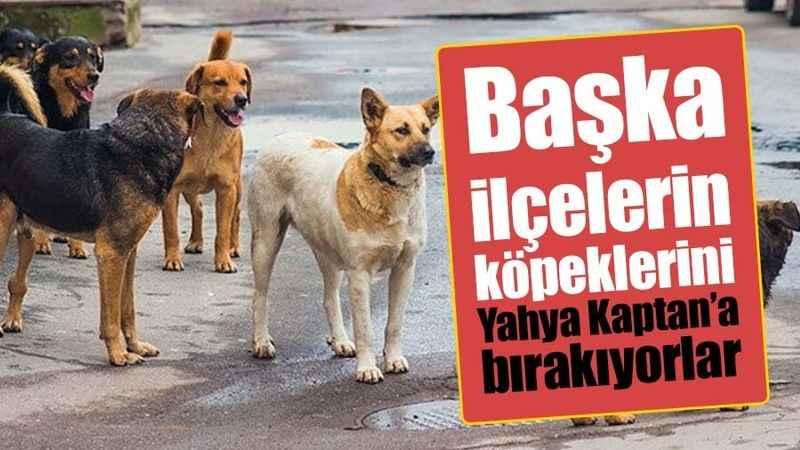 Başka ilçelerin köpeklerini Yahya Kaptan'a bırakıyorlar