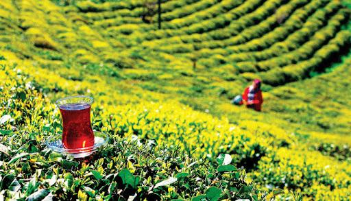 2021 yılı yaş çay alım fiyatları belli oldu