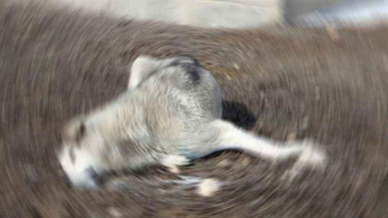Gölcük'te hamile köpeği zehirlediler iddiası