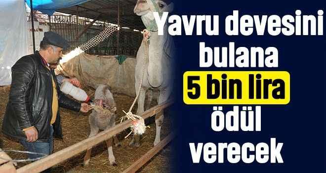 Yavru devesini bulana 5 bin lira ödül verecek