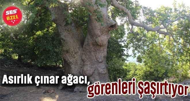 Asırlık çınar ağacı, görenleri şaşırtıyor