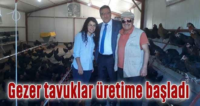 Gezer tavuklar üretime başladı