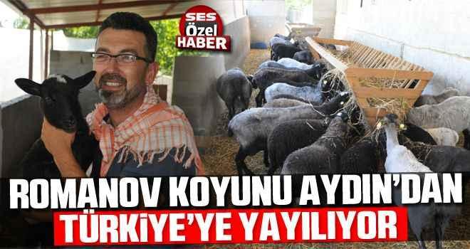 Romanov koyunu Aydın'dan Türkiye'ye yayılıyor