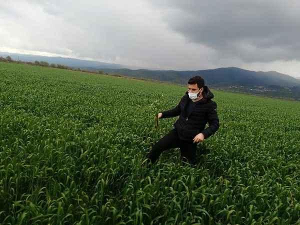 Koçarlı'da buğday üreticilerine hastalık uyarısı