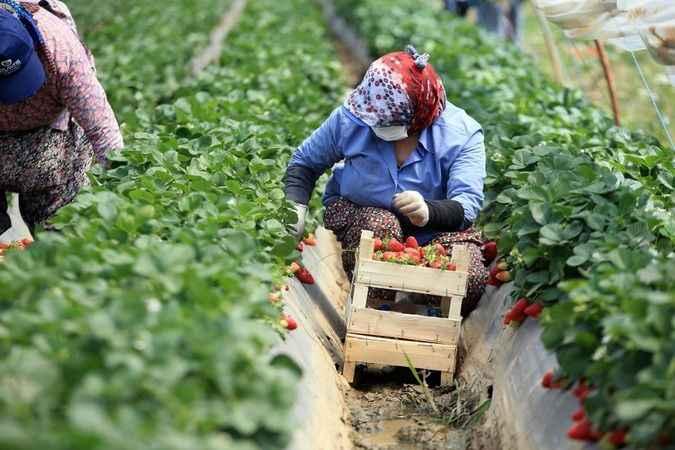 Çilekte yüksek verim ve fiyatlar, hasada başlayan üreticiyi sevindirdi