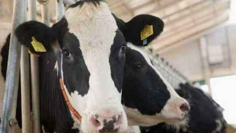 Çineli kasap hastalıktan ölen ineği satın almış
