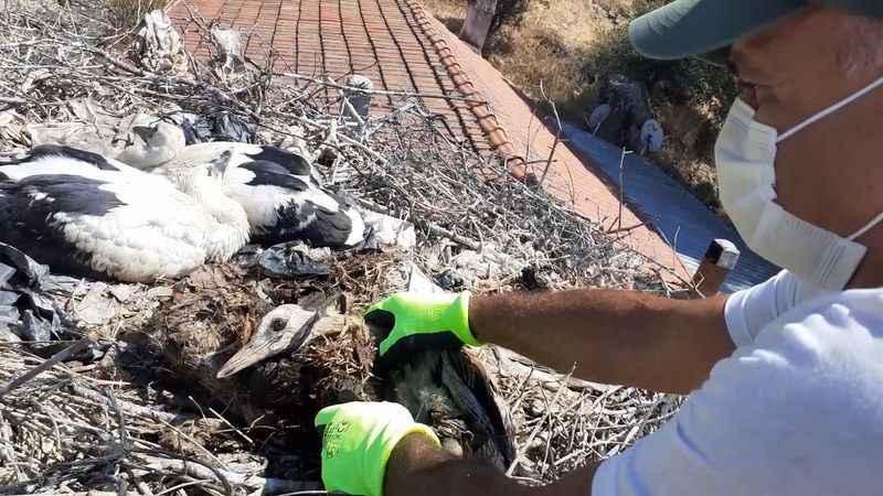 Doğaseverler leylek yavrularını kurtardı