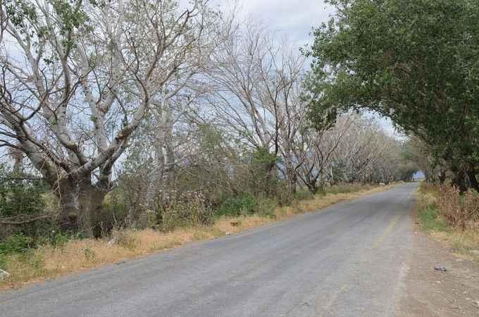 Özbaşı'nın simgesi 'akçakavak ağaçları' kuruyor
