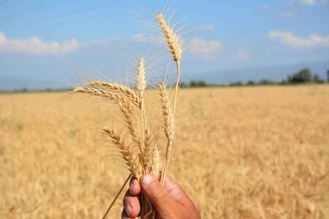 Buğdayda verim kaybı, üreticiyi üzdü