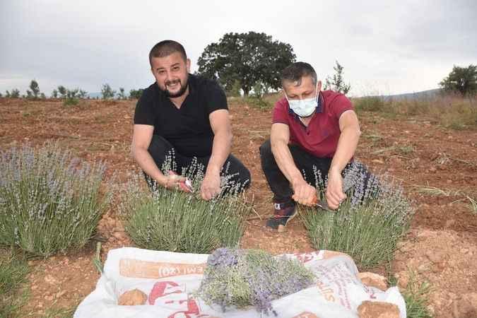 Karacasu'da ilk lavanta hasadı yapıldı