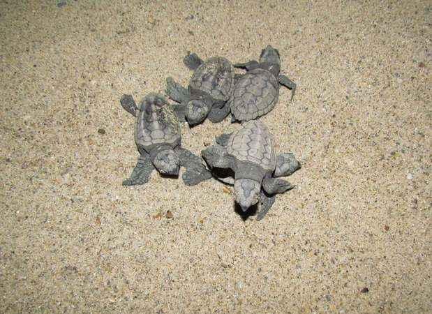 Deniz kaplumbağalarının nesli korunuyor