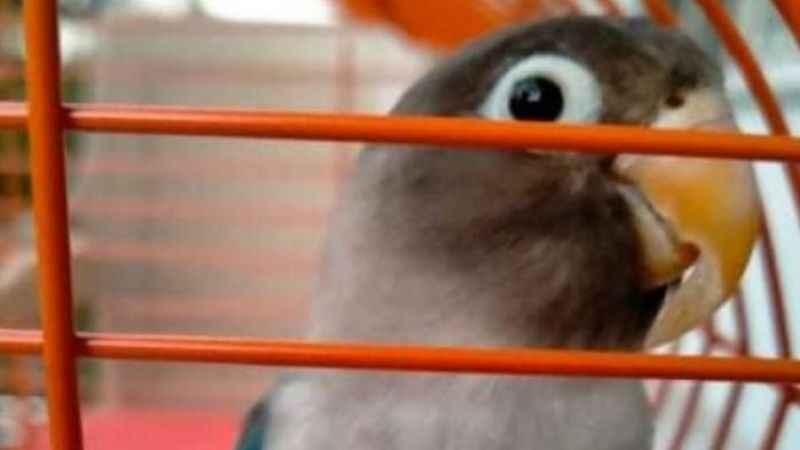 Kayıp papağan 'Boncuk' aranıyor