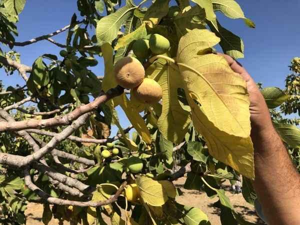 Kuraklık inciri vurdu