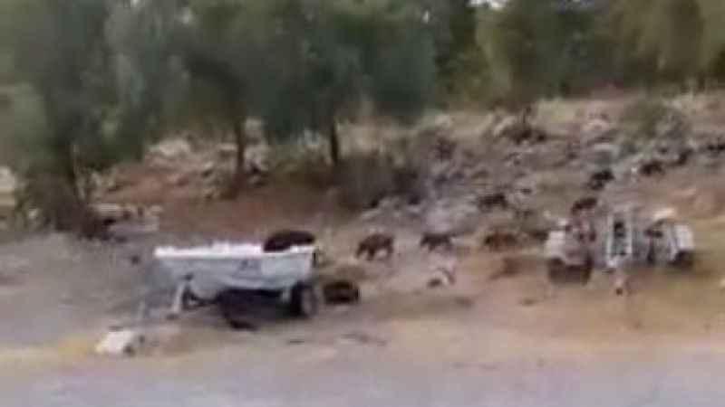 Yaban domuzları Akbük'te sürü halinde geziyor