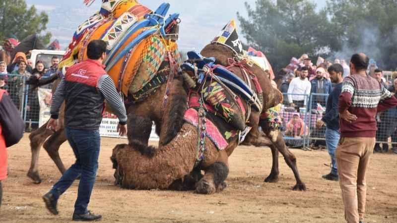 Aydın'da deve güreşi takvimi belli oldu