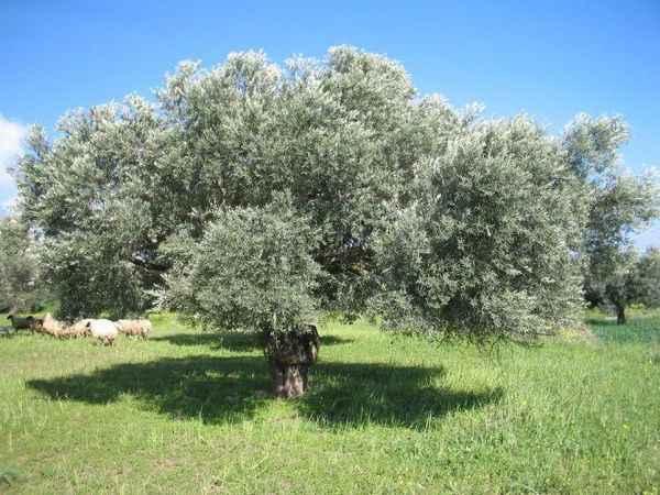 Zeytin üreticileri yeni sezona ümitli giriyor