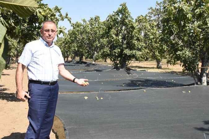Hasatta file örtü kullanımı ile incirde kalitenin korunması amaçlanıyor