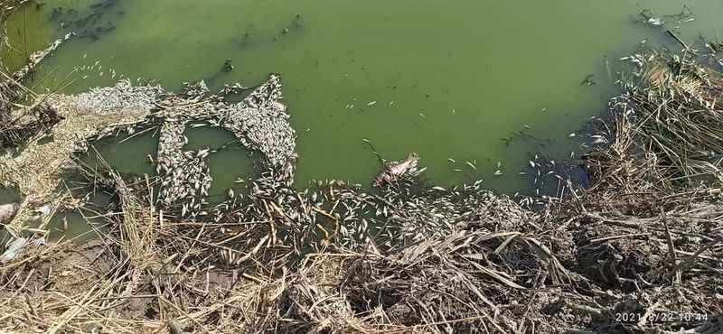 Bıyıklı azmağında balık ölümleri yaşandı