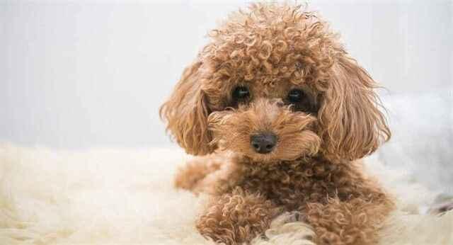 Toy Poodle Köpeklerde Merak Edilenler