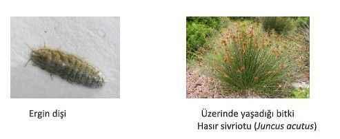 Aydın'da yeni böcek türü keşfedildi