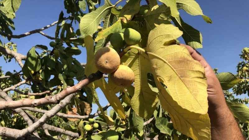 Germencik Ziraat Odası'ndan incir üreticilerine başvuru çağrısı