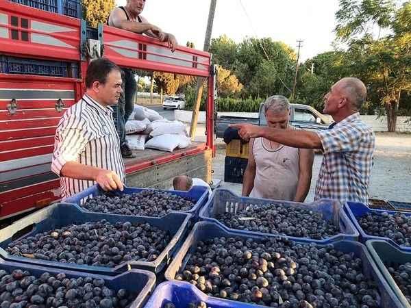 Didim'de sofralık zeytin hasadı başladı