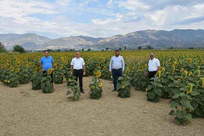 Aydın'da ayçiçeği 2. ürün haline geldi
