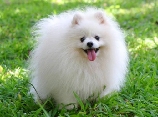 Pomeranian Boo Irkının Özellikleri ve Bakımı !