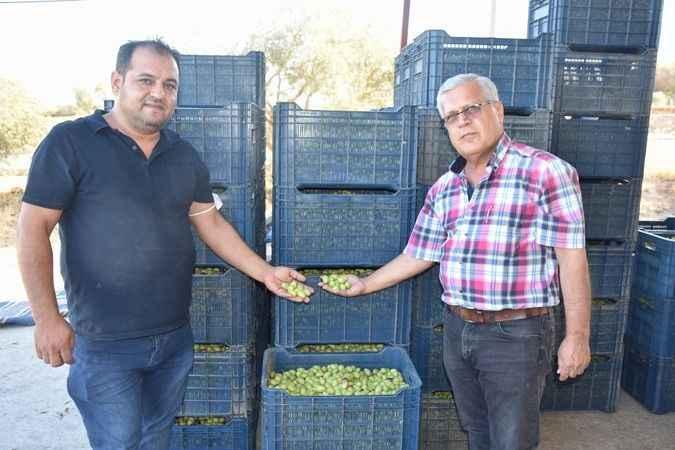 Karacasu'da zeytin alımları başladı